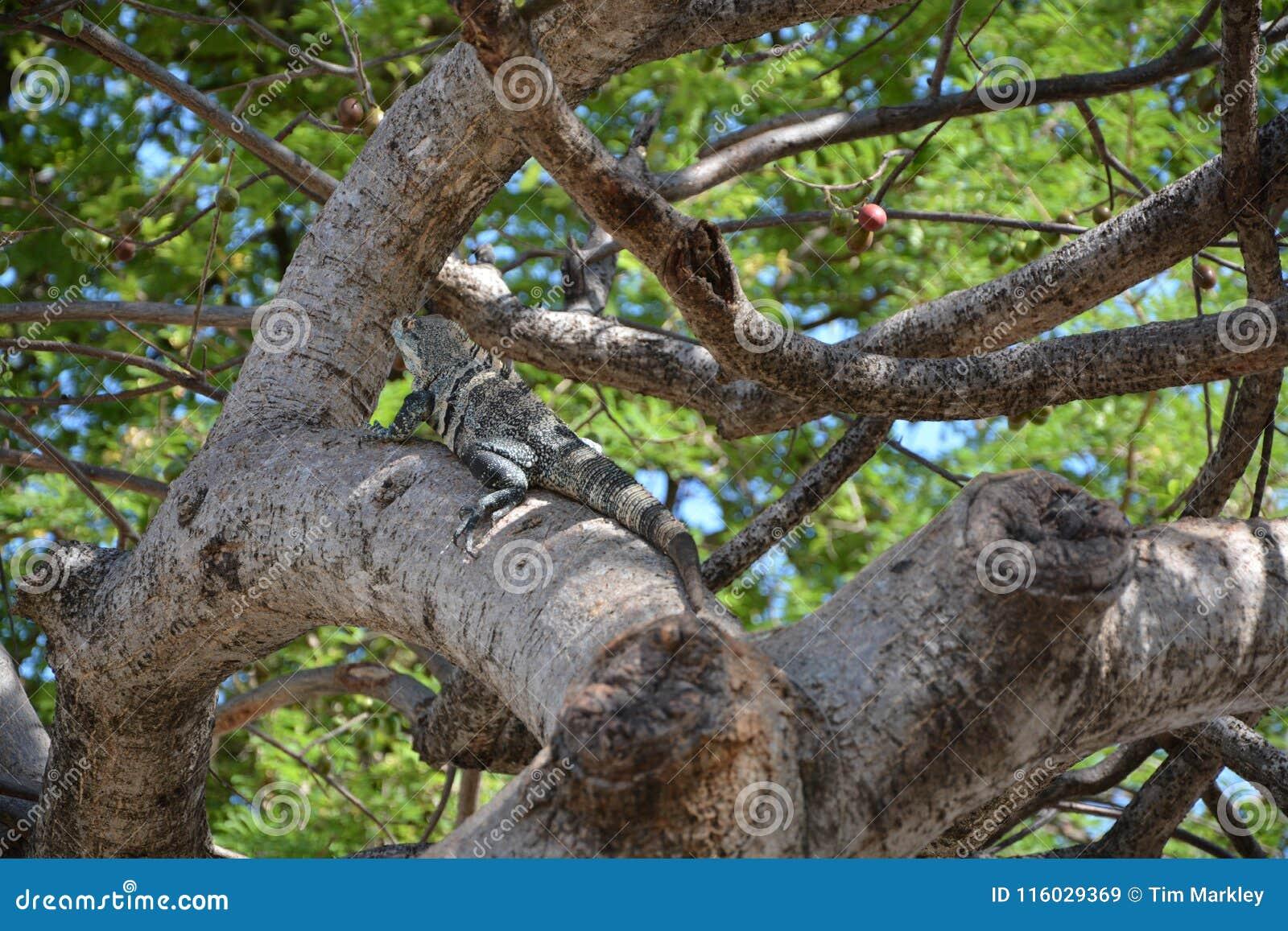 Iguana w drzewie