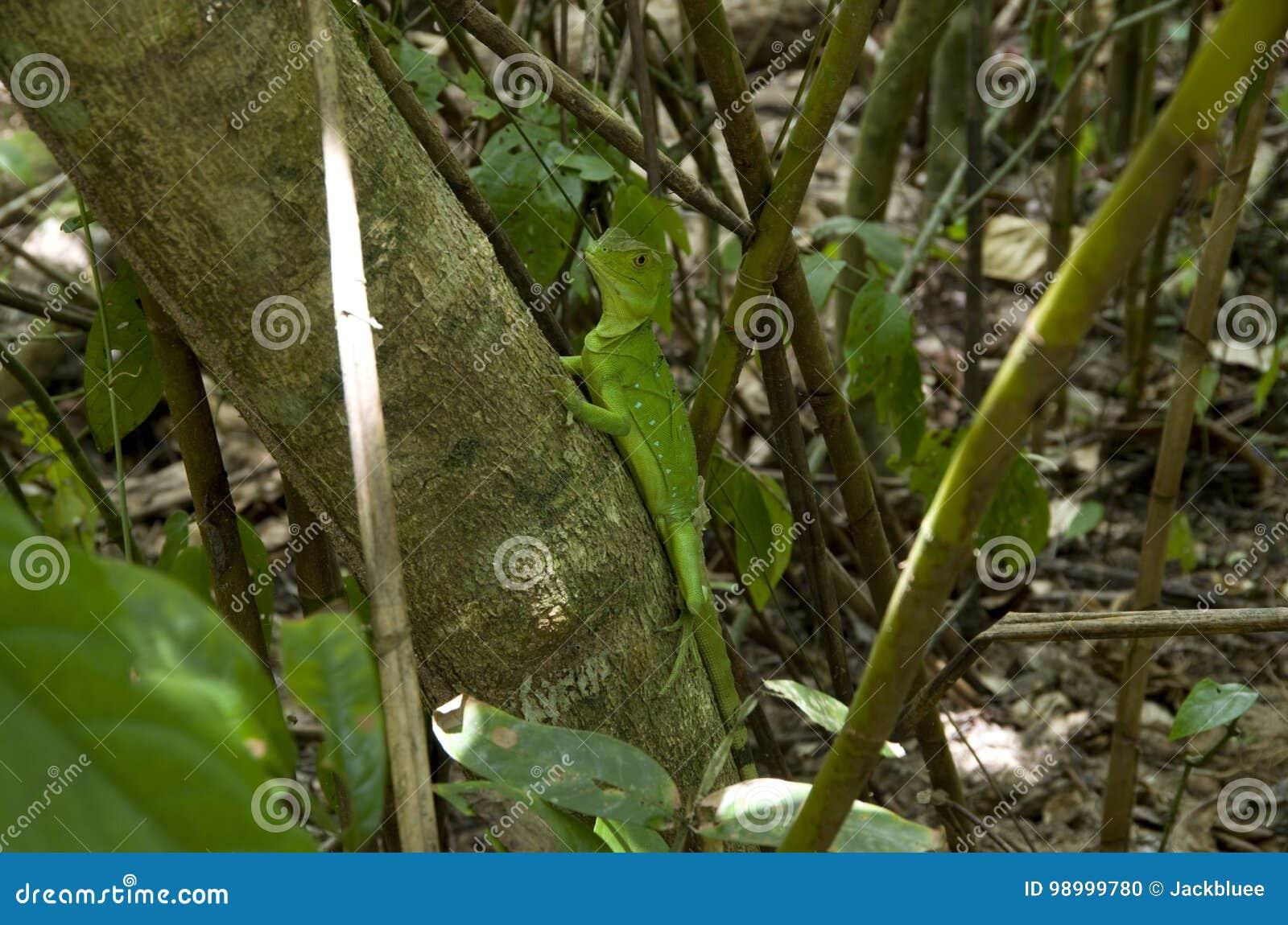 Iguana w zieleni