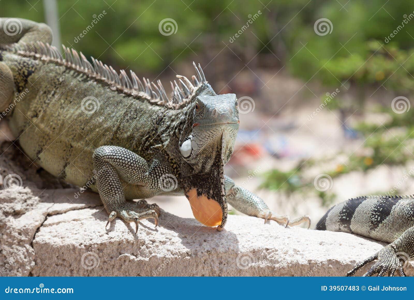 Iguana on a wall