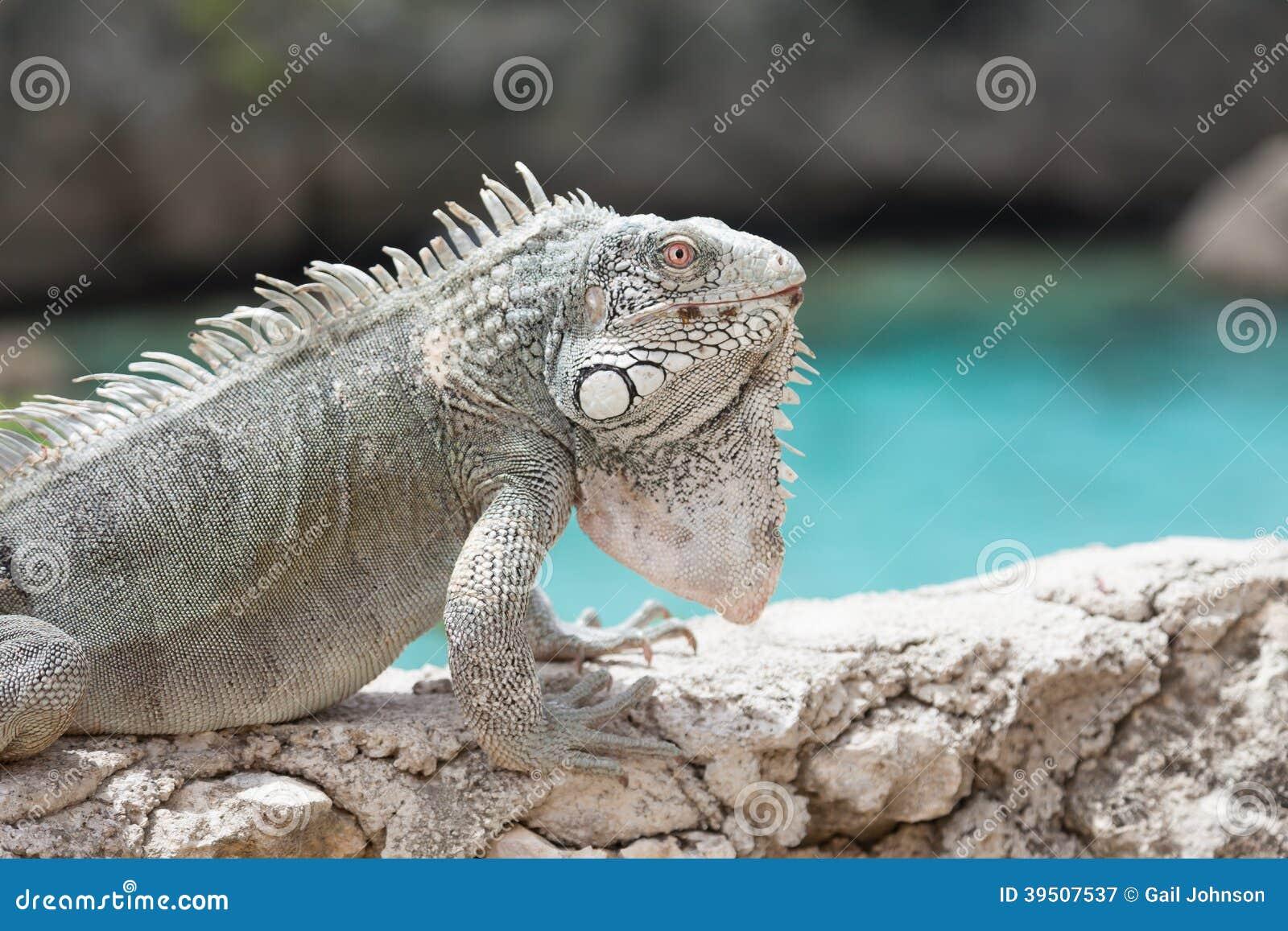 Iguana on a wall with the sea