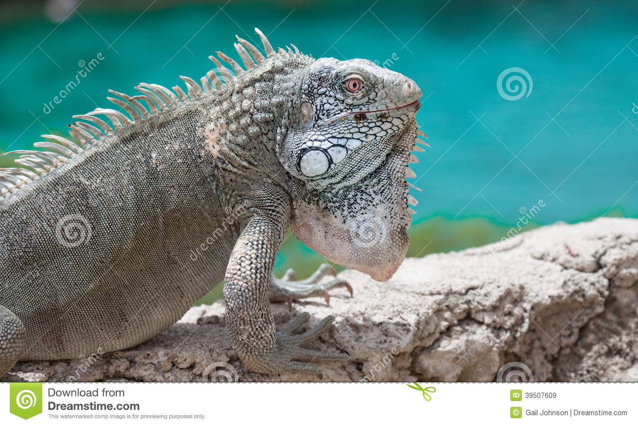 Iguana on a wall with the sea