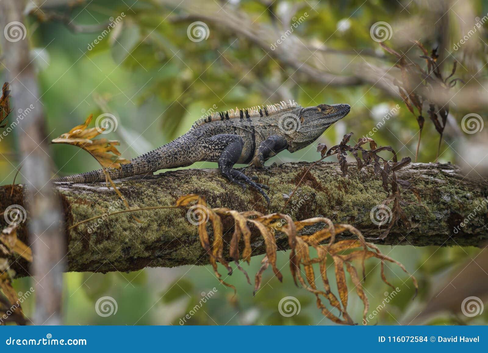Iguane Épineux-coupé la queue par noir - similis de Ctenosaura