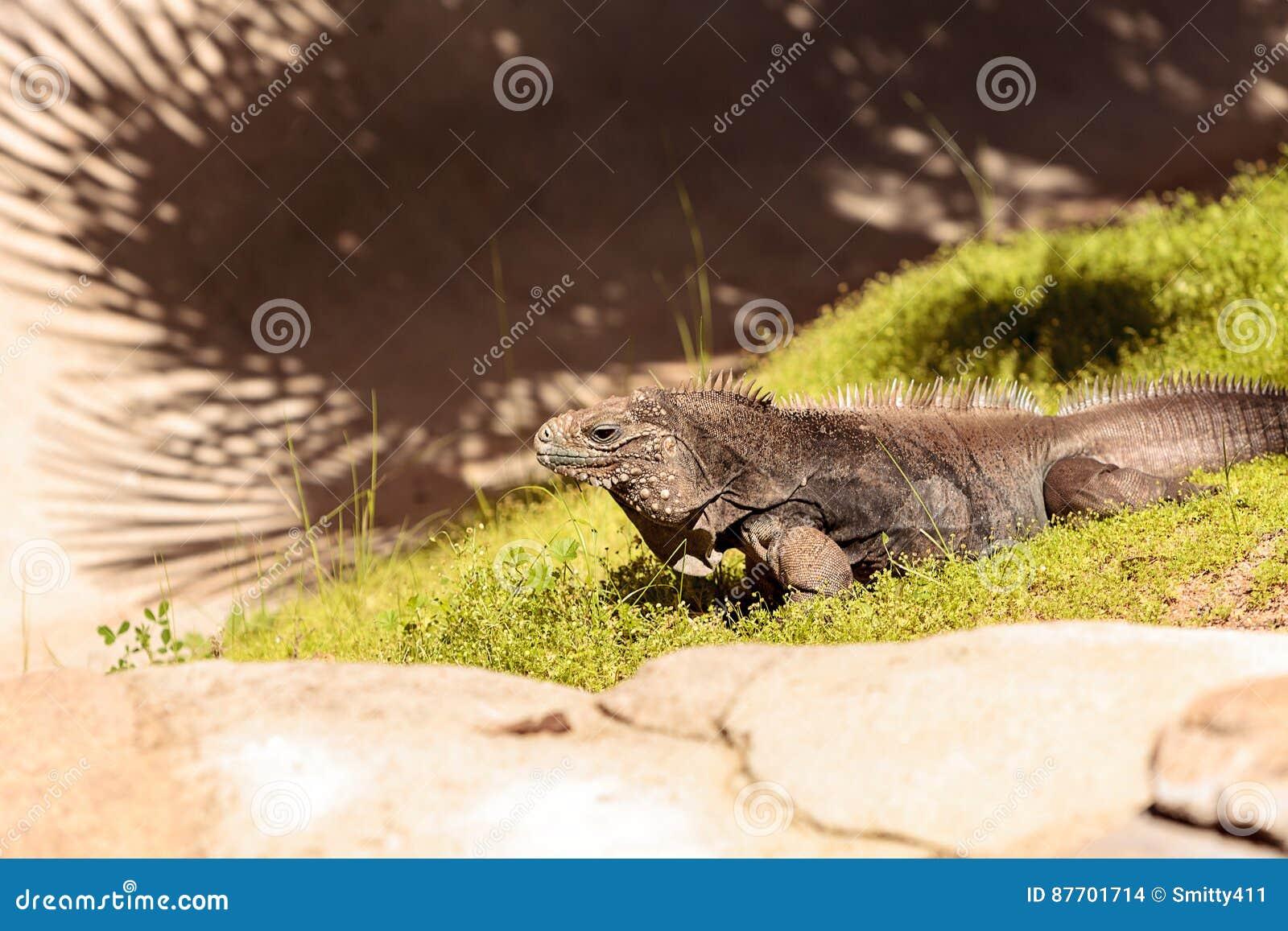 Iguane cubain connu sous le nom de nubila de Cyclura nubile