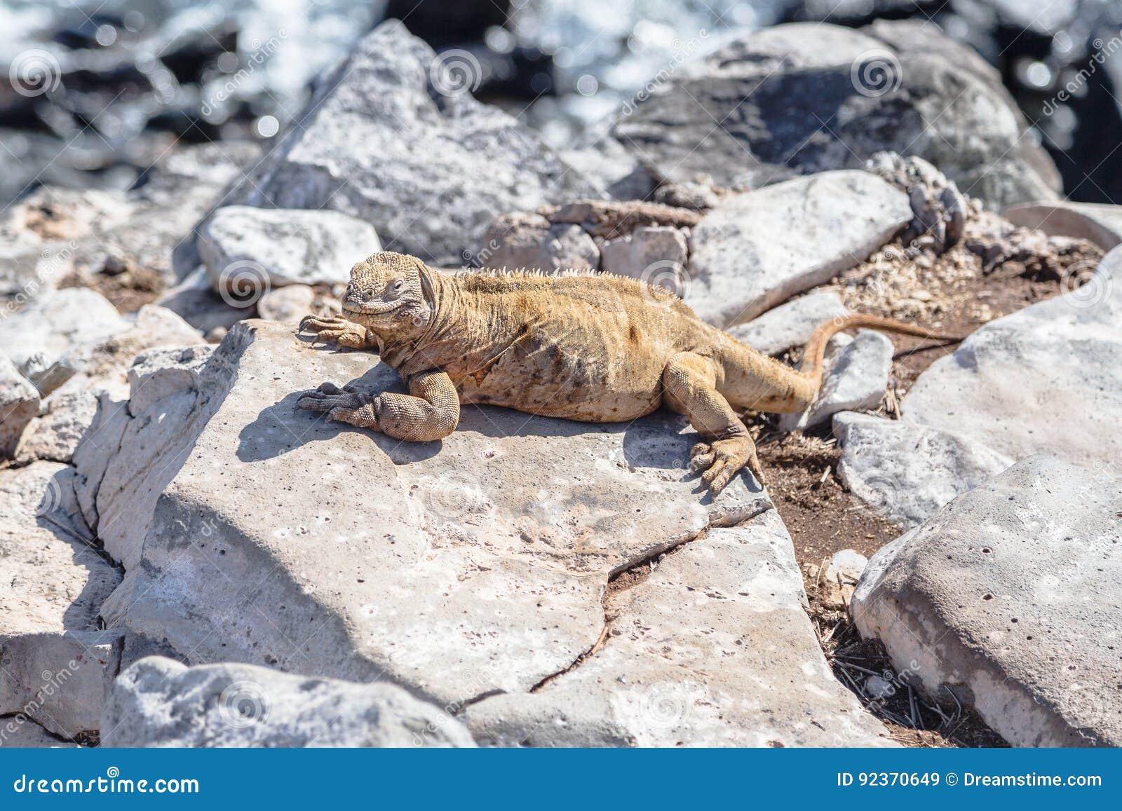Iguane de Galapagos été perché sur des roches