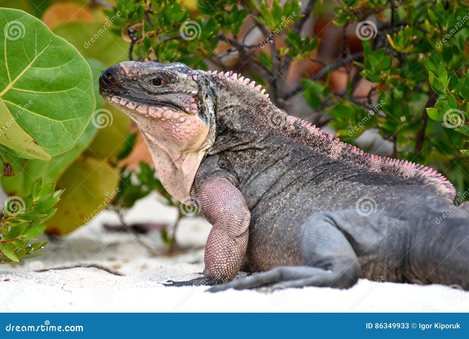 Iguane de roche