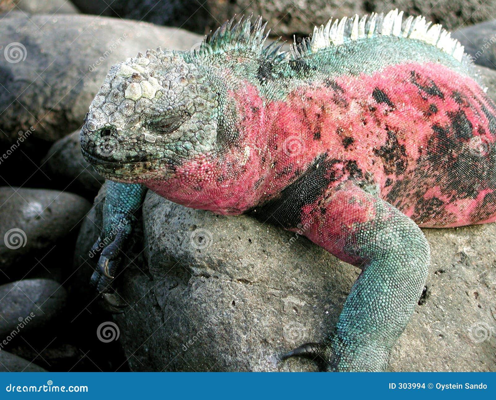 Iguane de sommeil