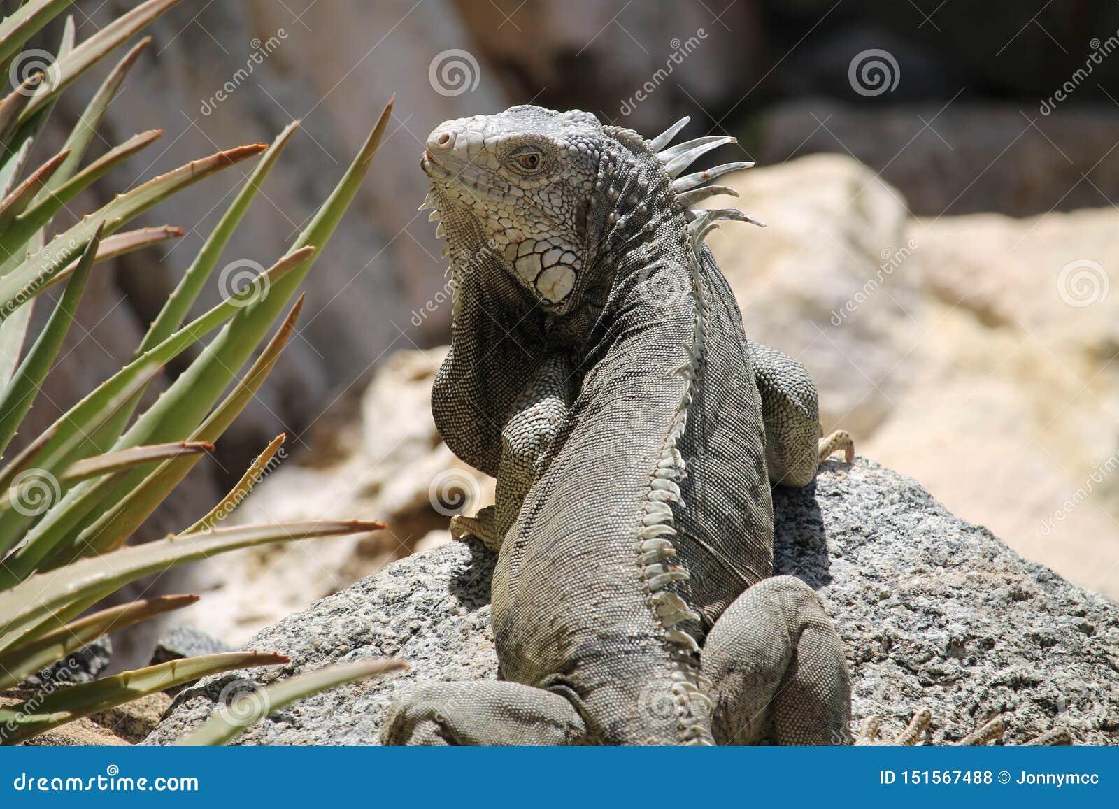 Iguane regardant en arrière tout en lounging sur une roche