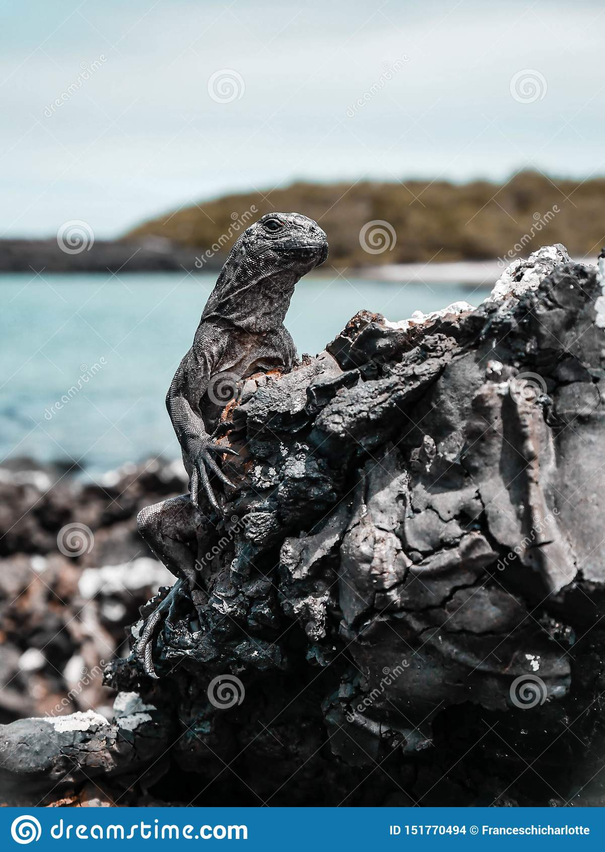 Iguane sur la roche