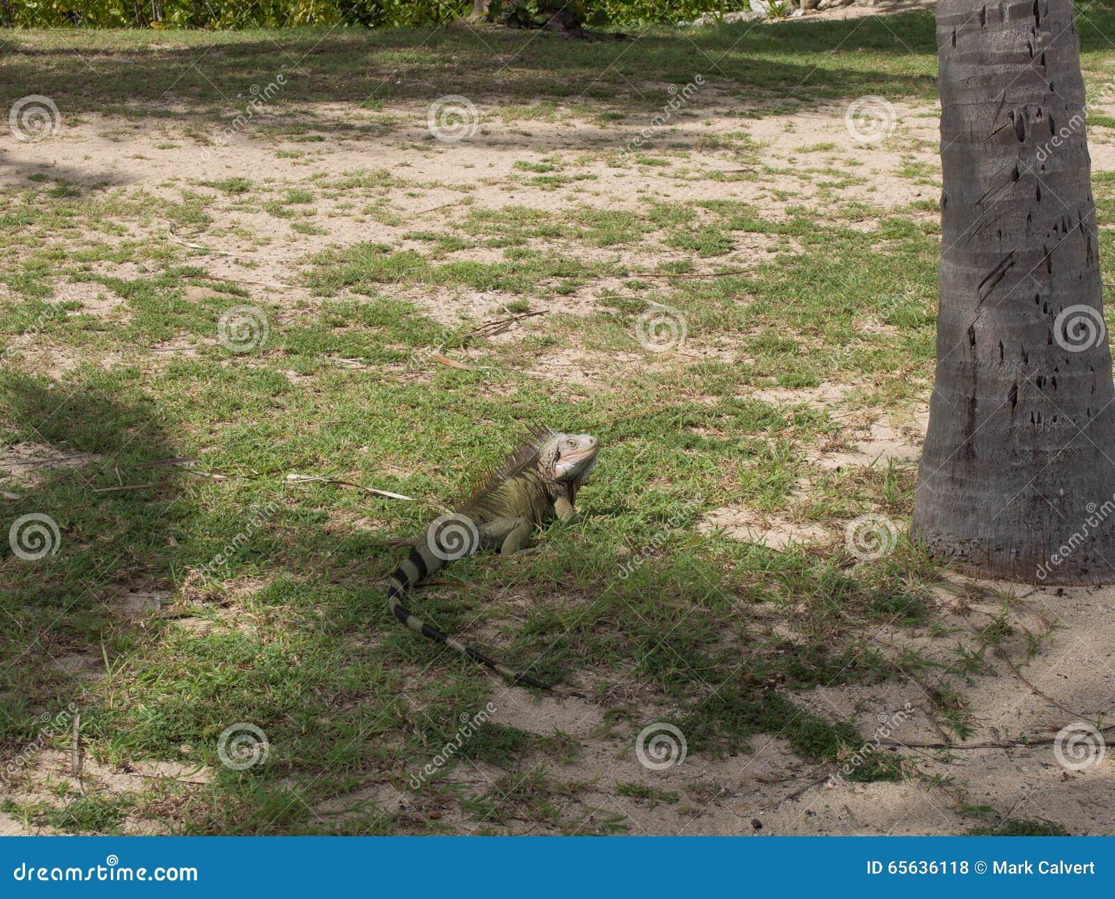 Iguane vert dans les ombres à un St Croix Beach
