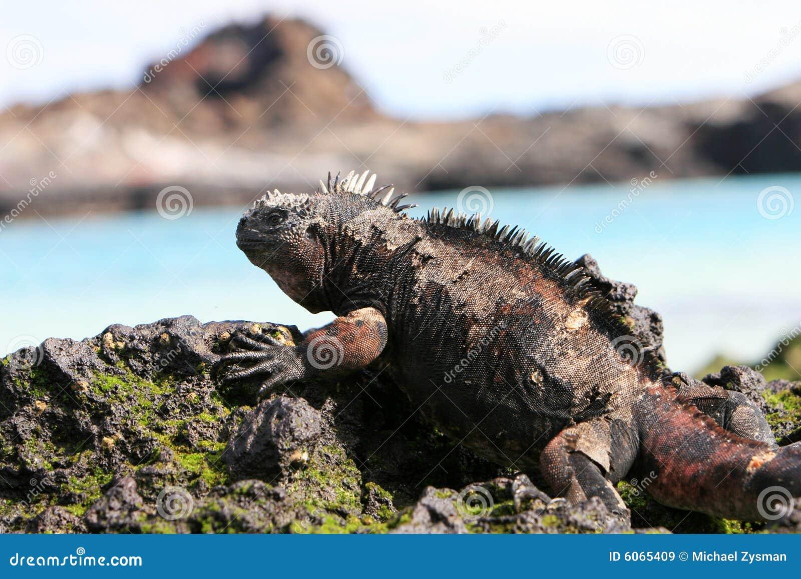 Iguany galapagos marine