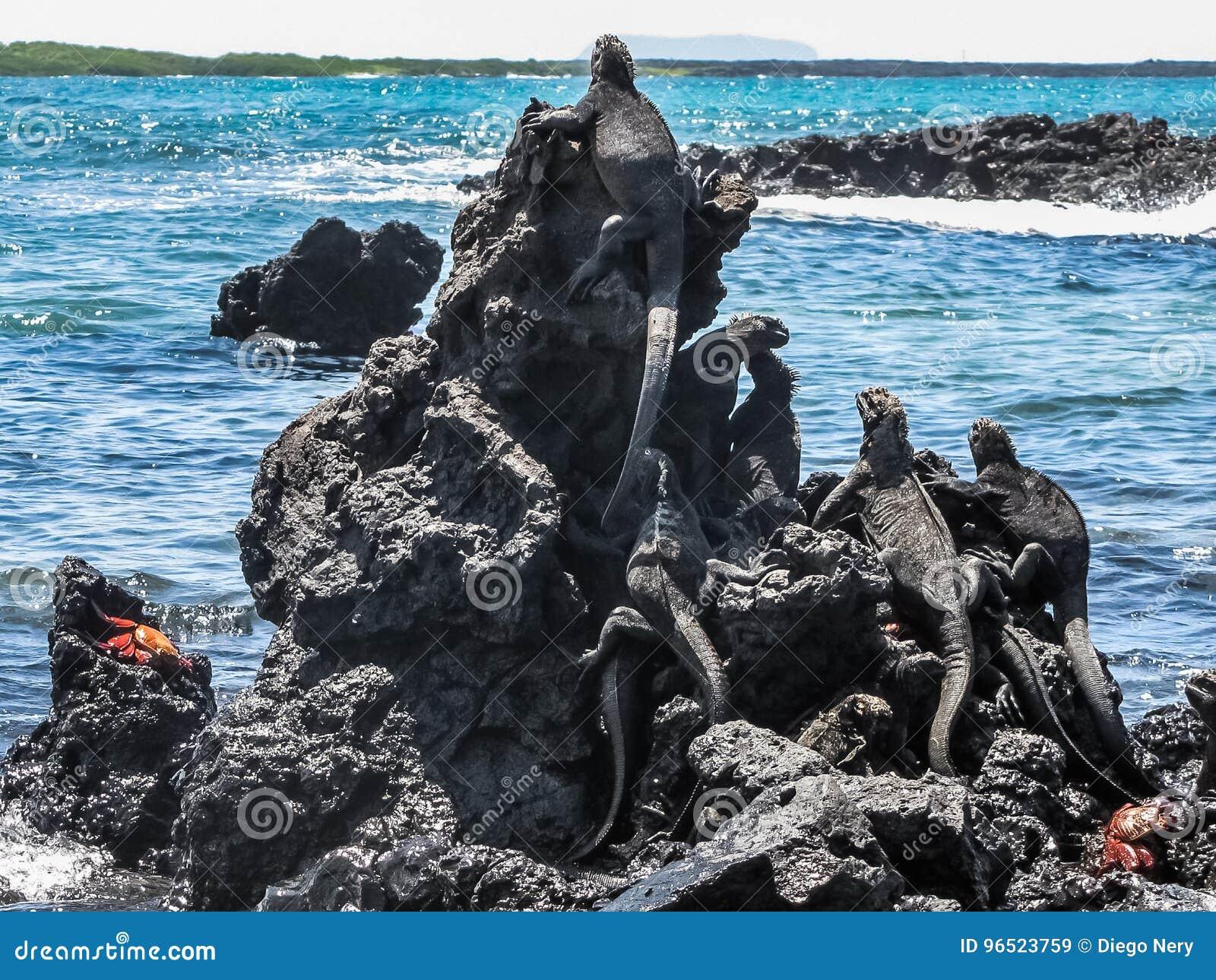 Iguany przy morzem, Galapagos wyspy