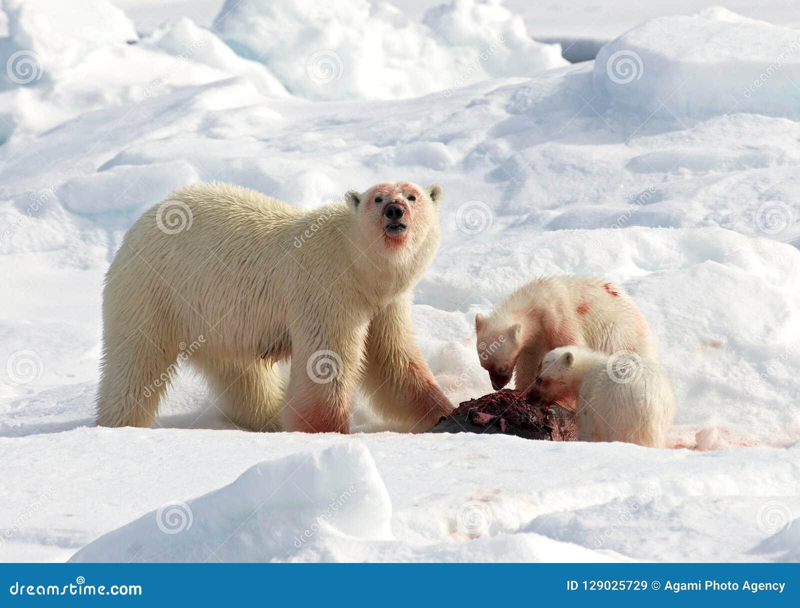 IJsbeer,北极熊,熊属类maritimus