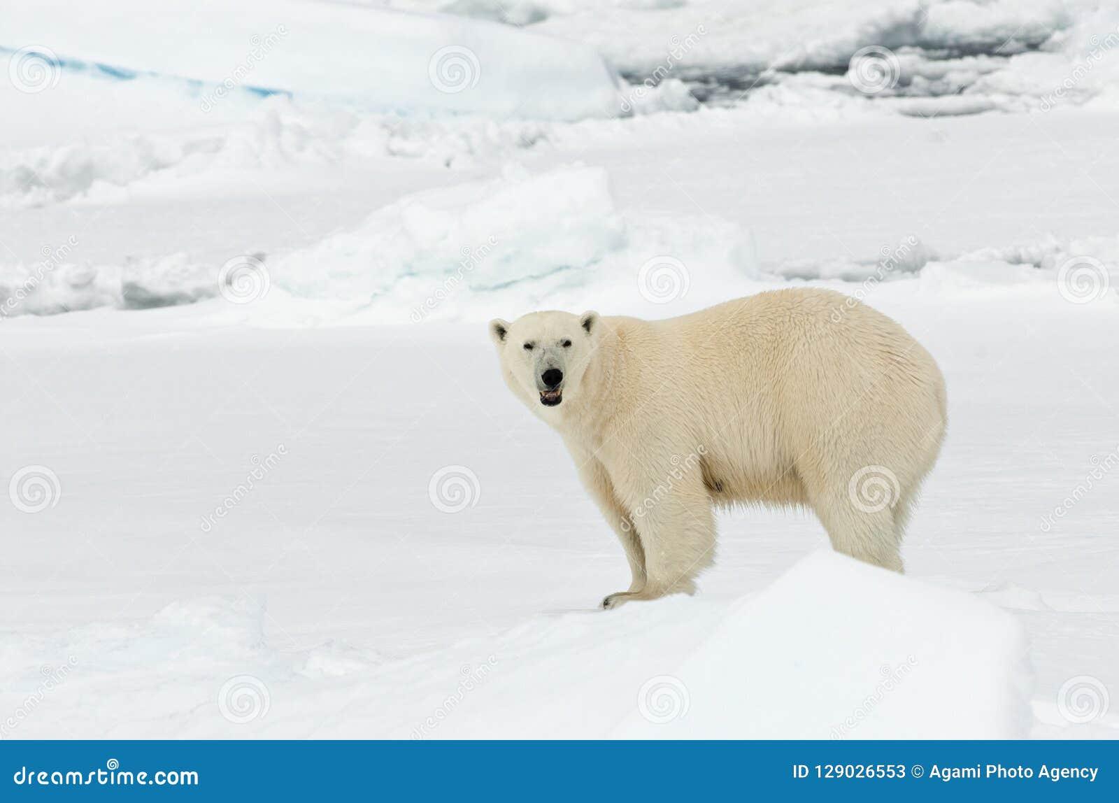 IJsbeer, полярный медведь, maritimus Ursus