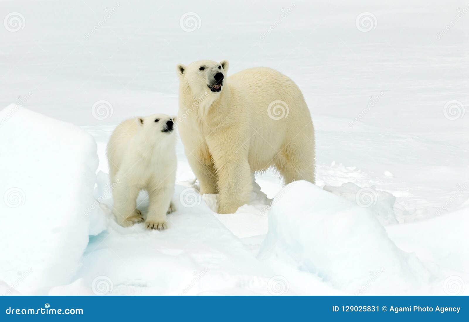 IJsbeer, Eisbär, Ursus maritimus