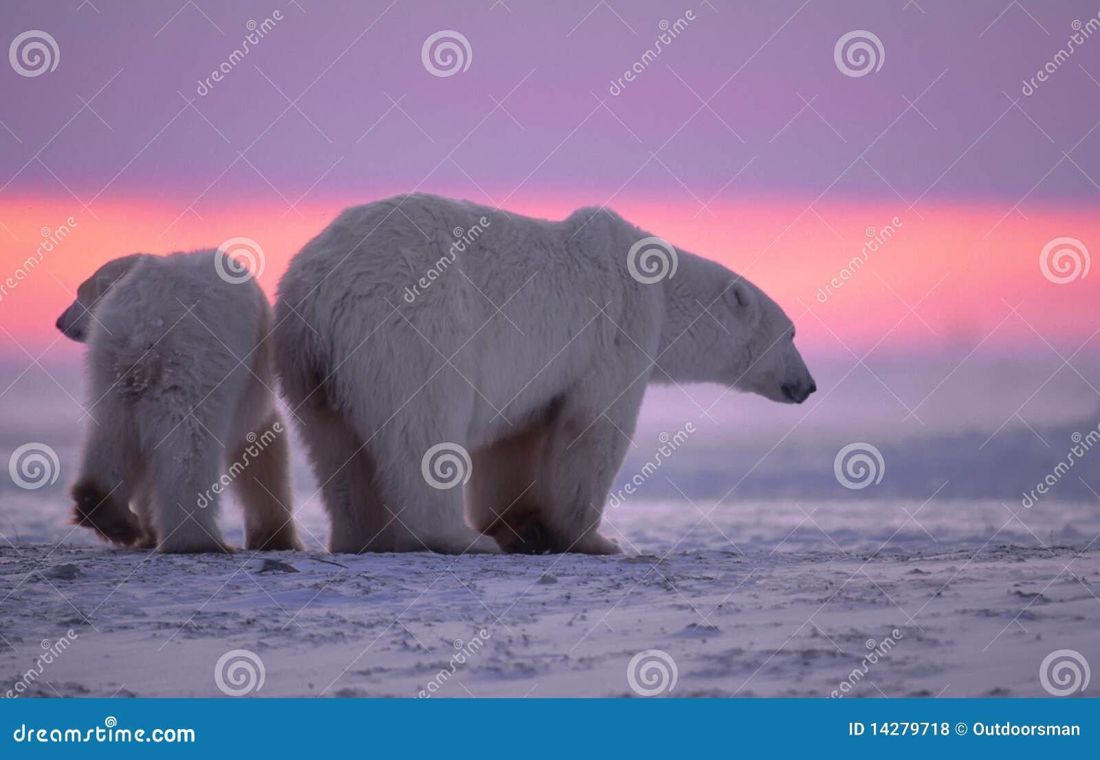 Ijsbeer en welp bij zonsondergang
