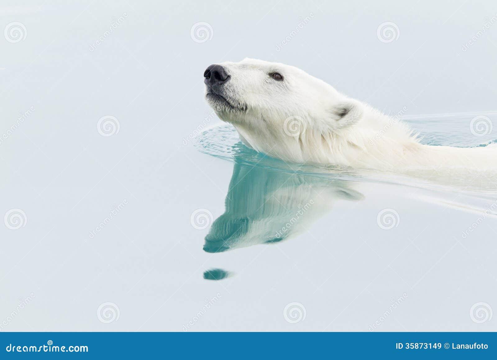 Ijsbeer het zwemmen
