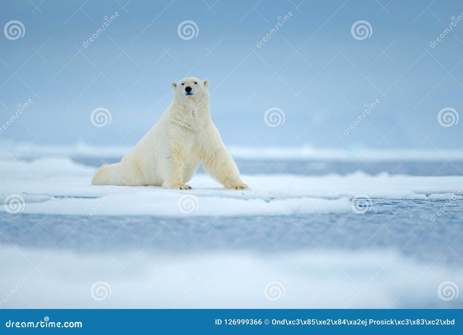 Ijsbeer op de rand van het afwijkingsijs met sneeuw en water in overzees Wit dier in de aardhabitat, Noord-Europa, Svalbard, Noor