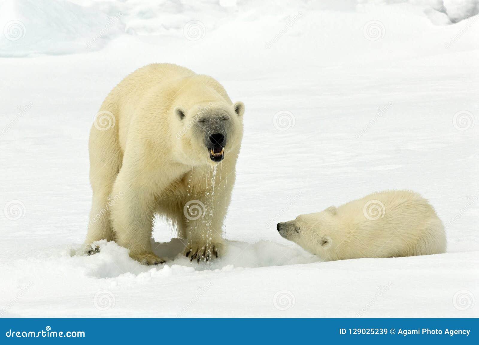 IJsbeer, Polar Bear, Ursus maritimus