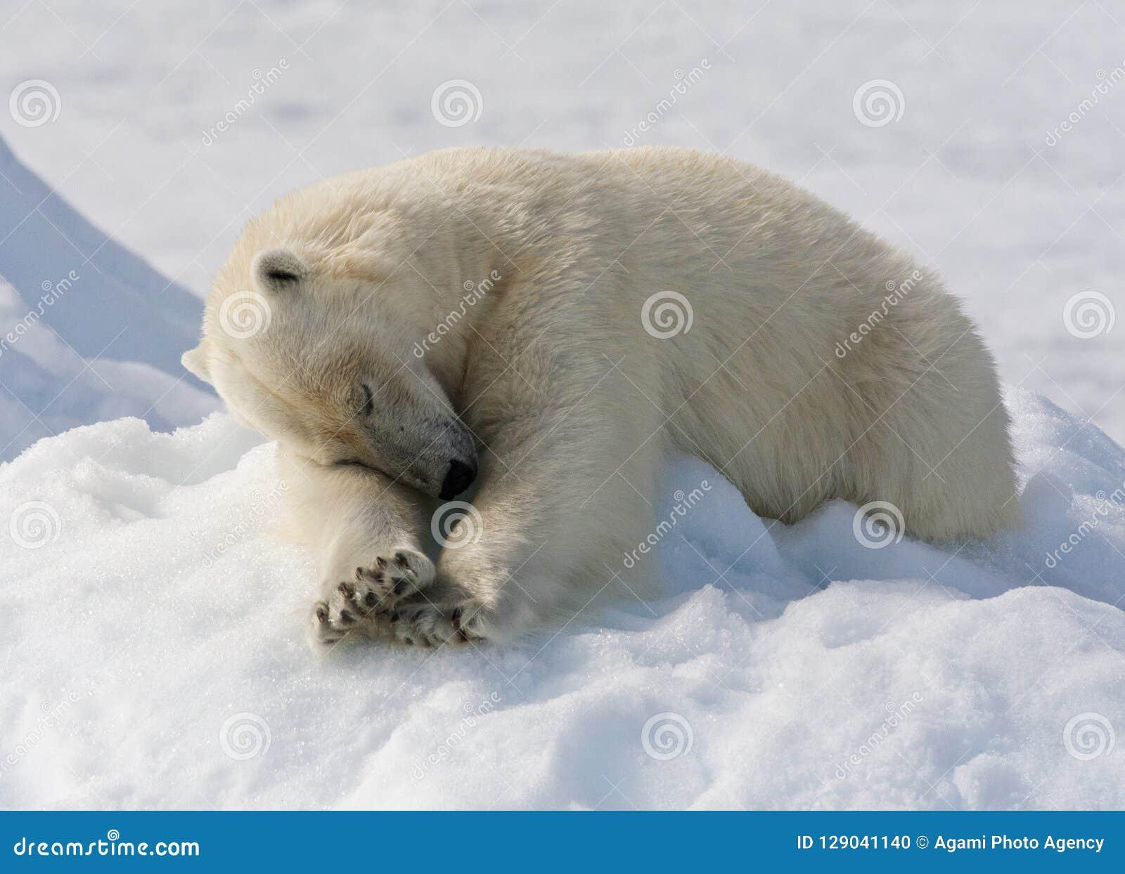 IJsbeer Spitsbergen; Isbjörn Svalbard