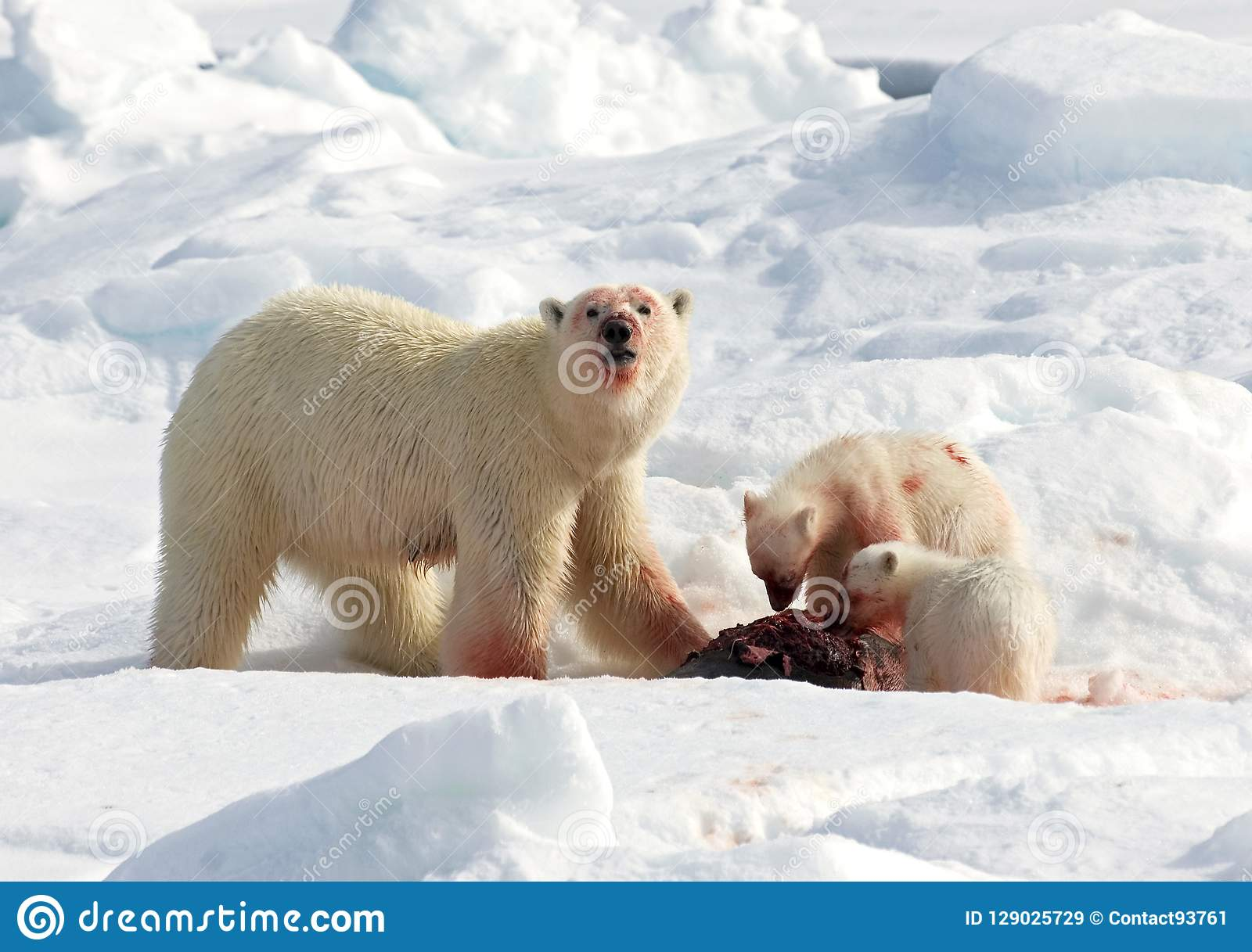 IJsbeer, urso polar, maritimus do Ursus