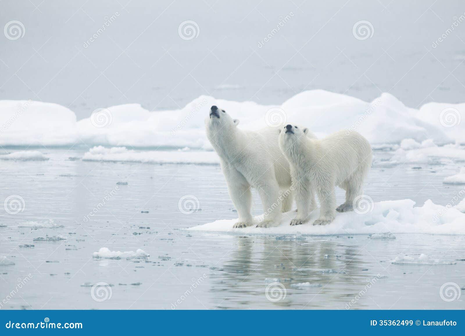 Ijsberen op ijsberg