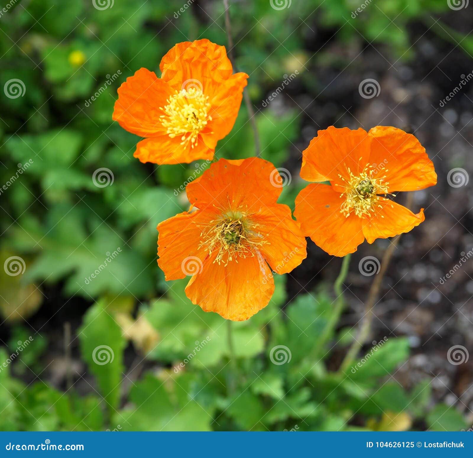 Download Ijslandse Papaver Of Papaver Nudicaule In Bloei Stock Afbeelding - Afbeelding bestaande uit sinaasappel, anthers: 104626125