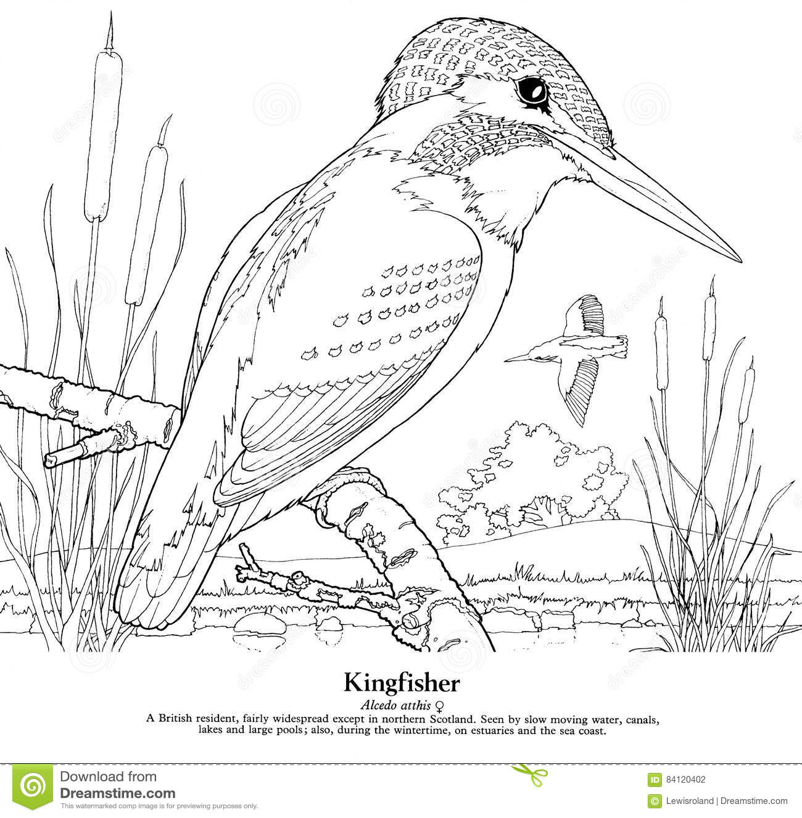 ijsvogel alcedo atthis stock illustratie illustratie