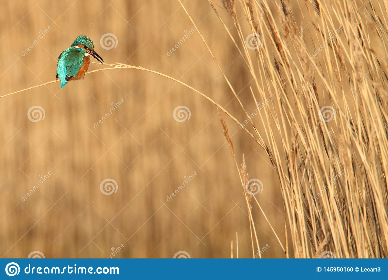 Ijsvogel die van Riet roepen