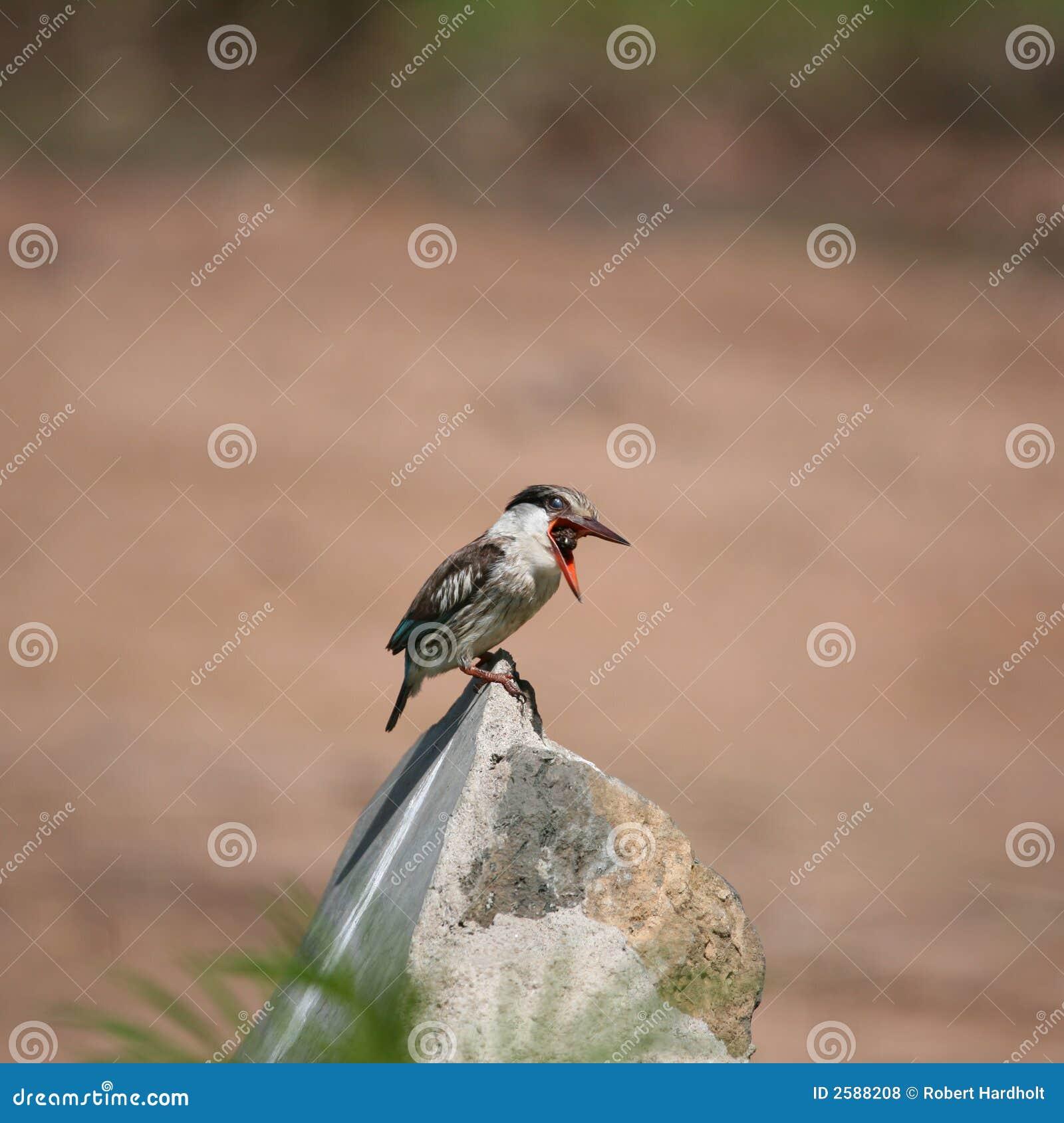 Ijsvogel Masai Mara Kenia