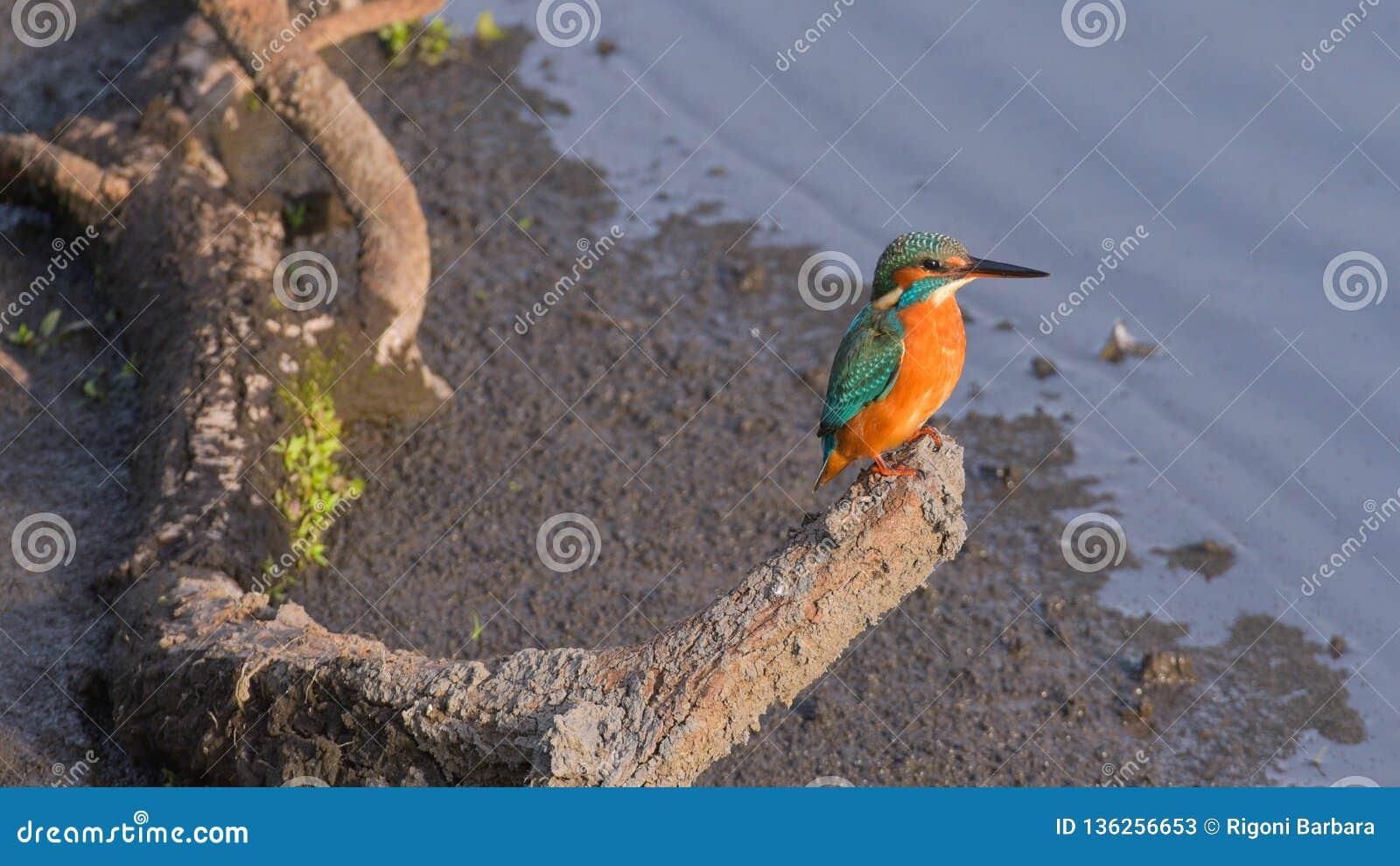 Ijsvogel op de tak wordt gesteld die