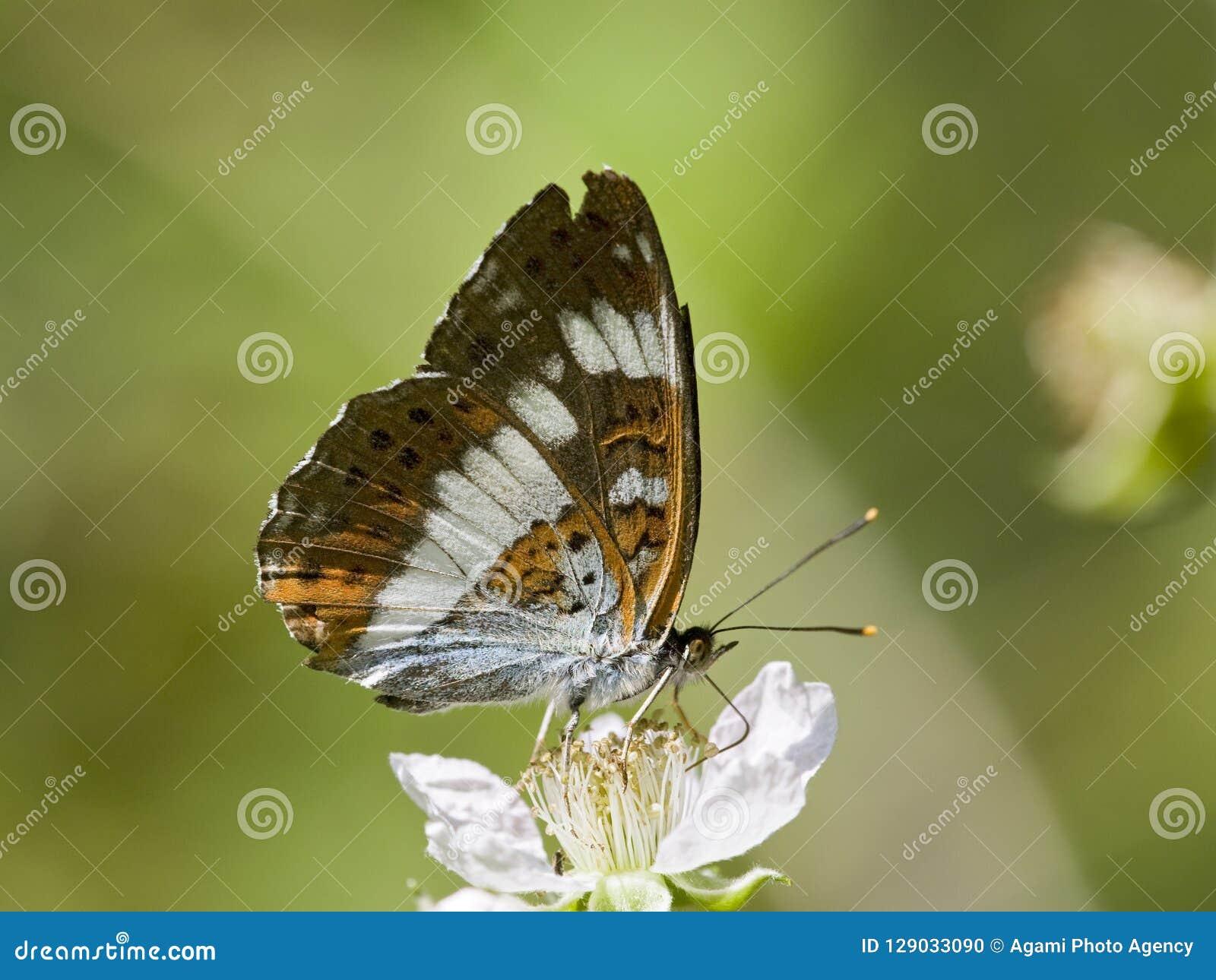 Ijsvogelvlinder di Kleine, ammiraglio bianco, Limenitis Camilla