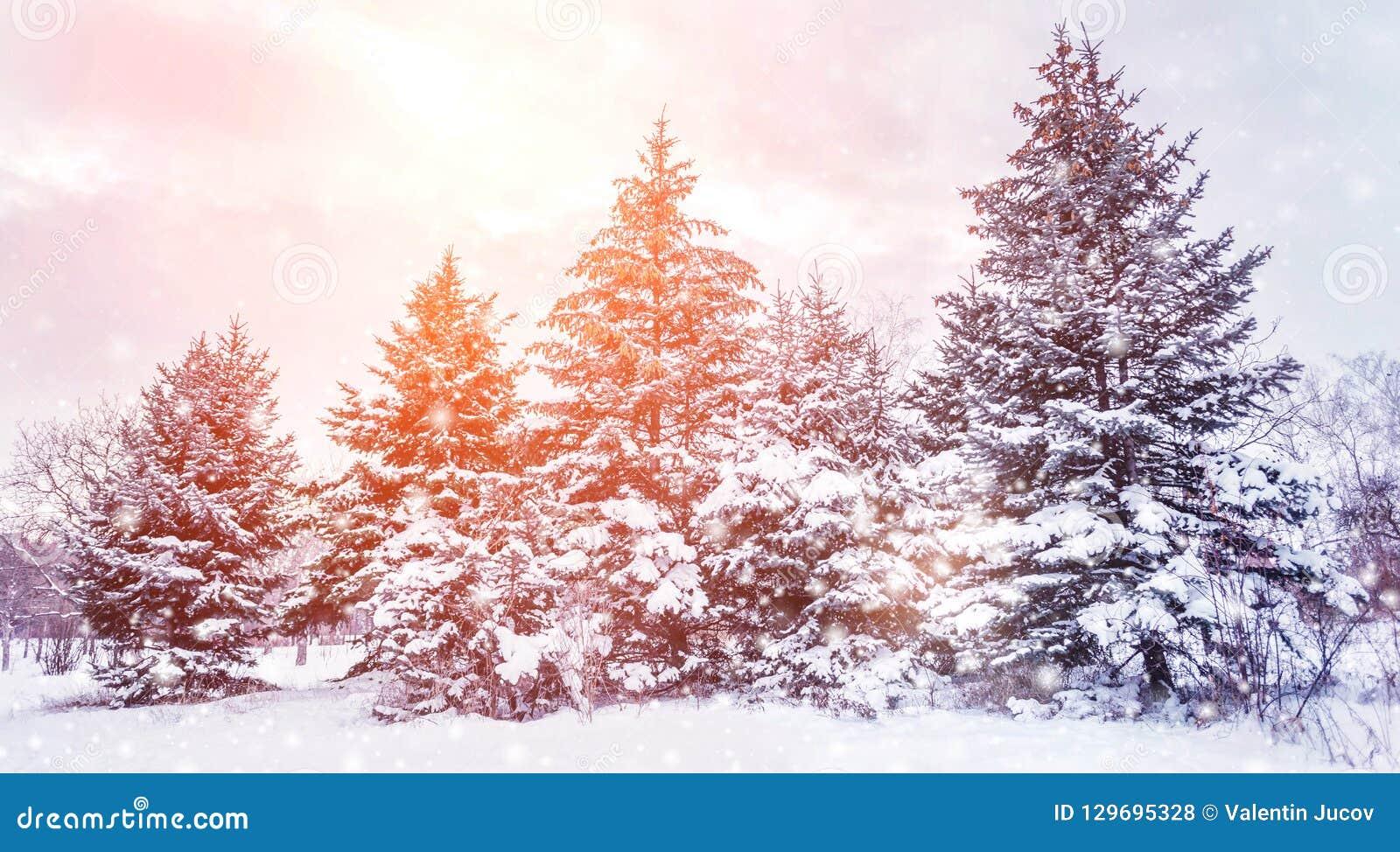Ijzig de winterlandschap in sneeuw bosdiePijnboomtakken met sneeuw in koud de winterweer worden behandeld