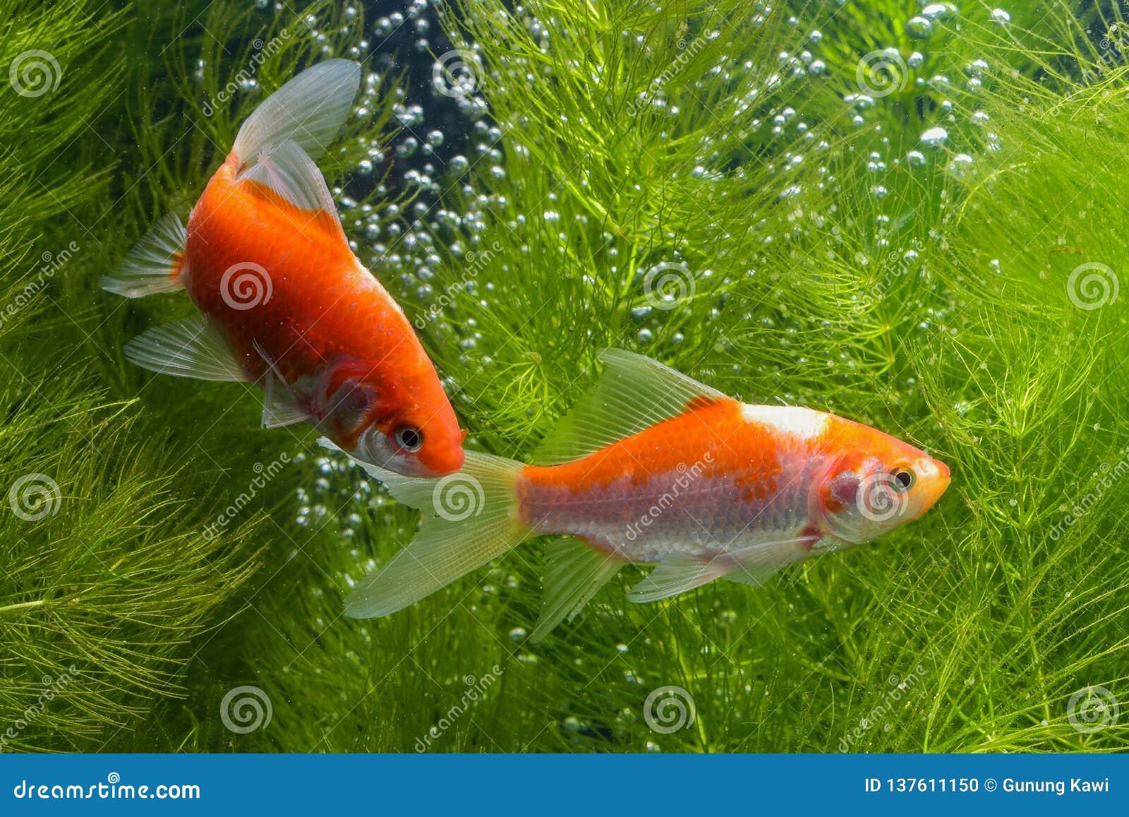 ikan koi atau secara spesifiknya koi berasal dari bahasa jepang yang berarti ikan karper lebih spesifik lagi merujuk pada nishiki 137611150