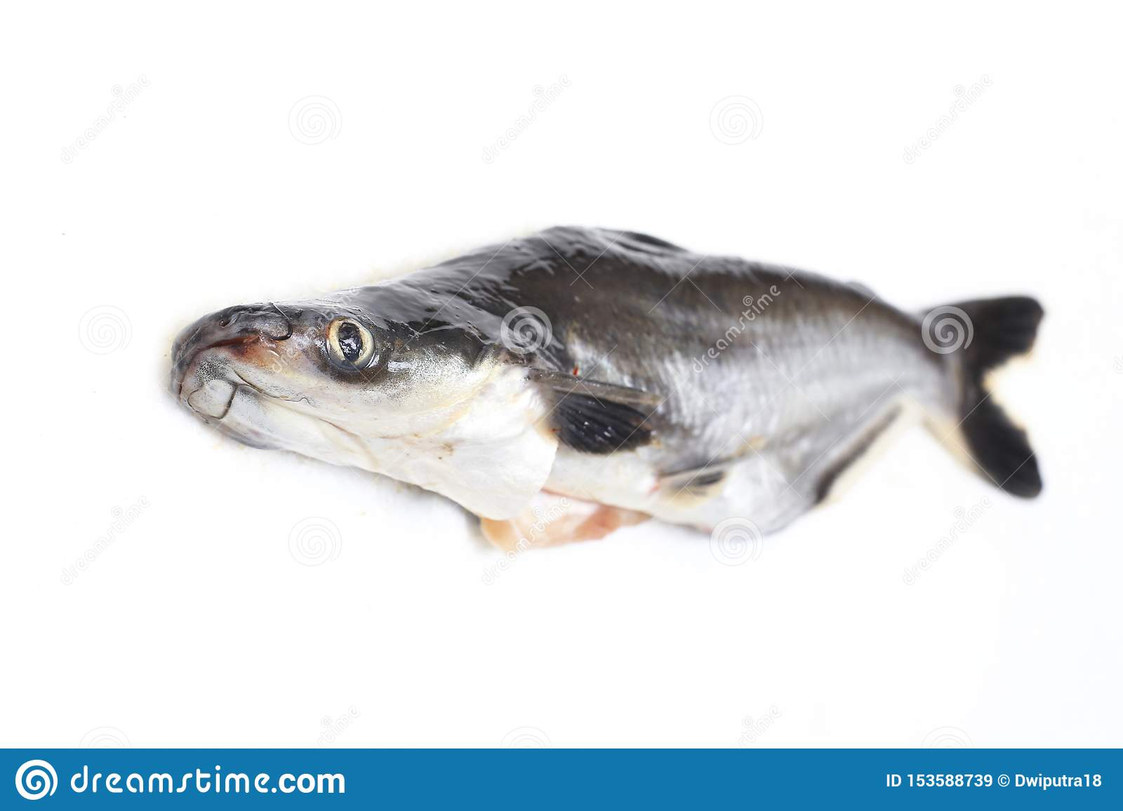 Ikan Patin Or Silver Catfish Or Iridescent Shark Fish Or