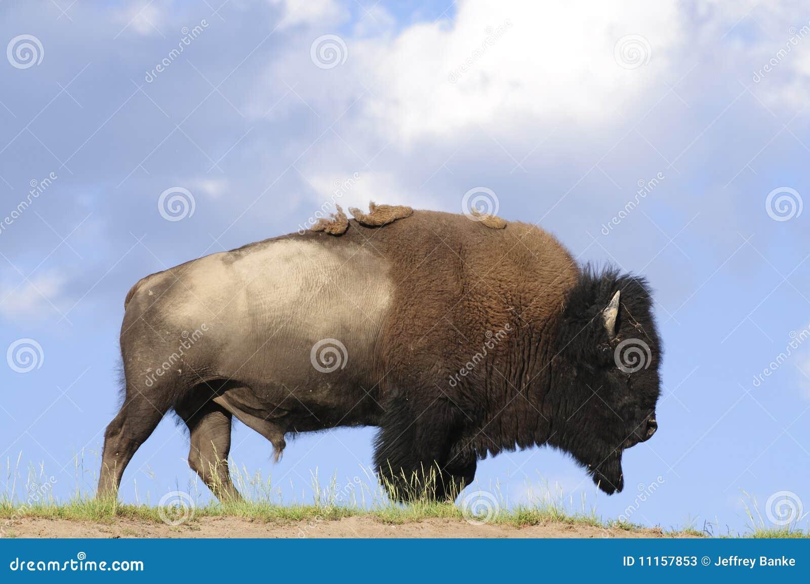 Ikonowy bizon