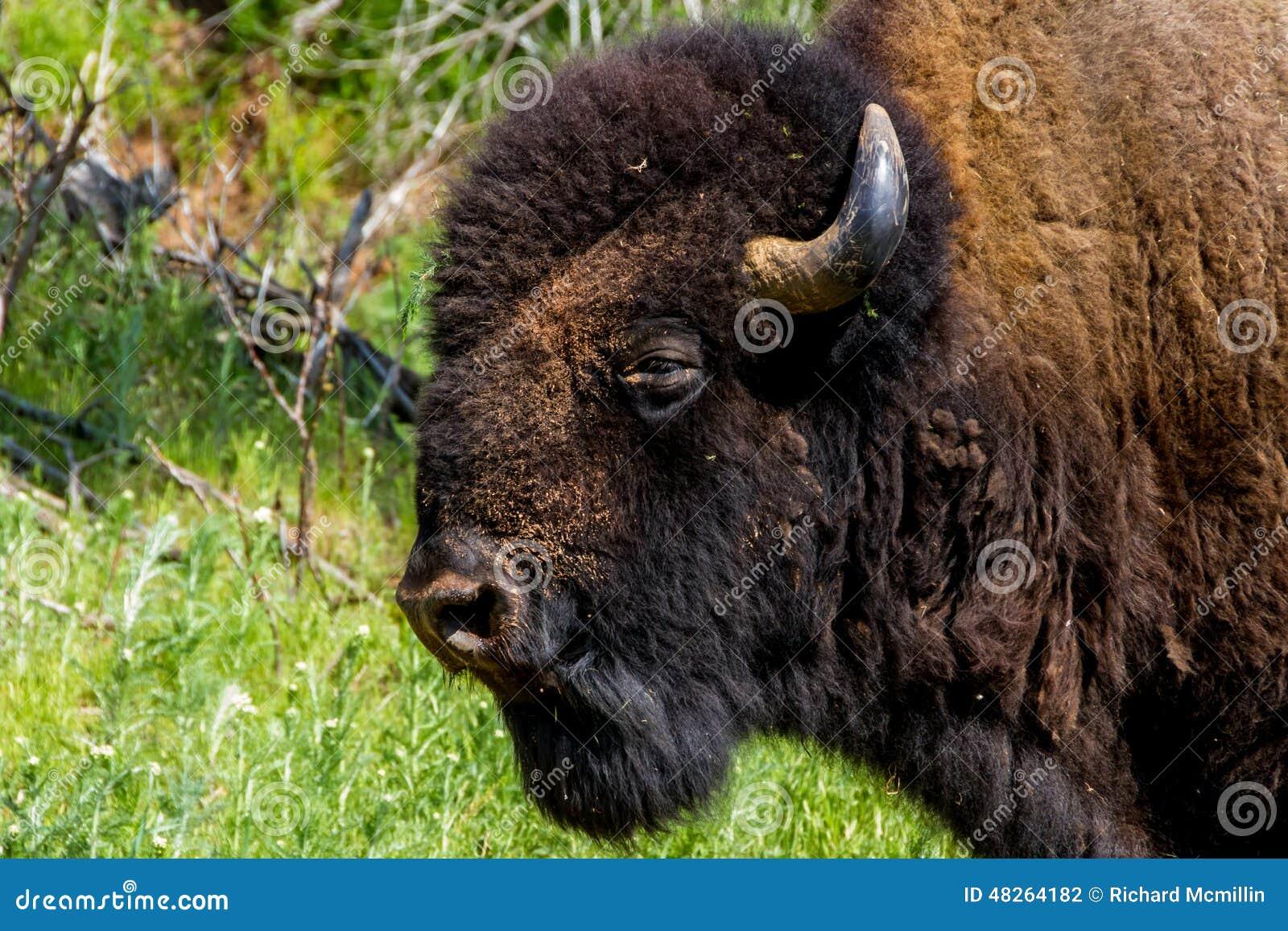 Ikonowy Dziki Zachodni symbol Amerykański żubr lub bizon -,