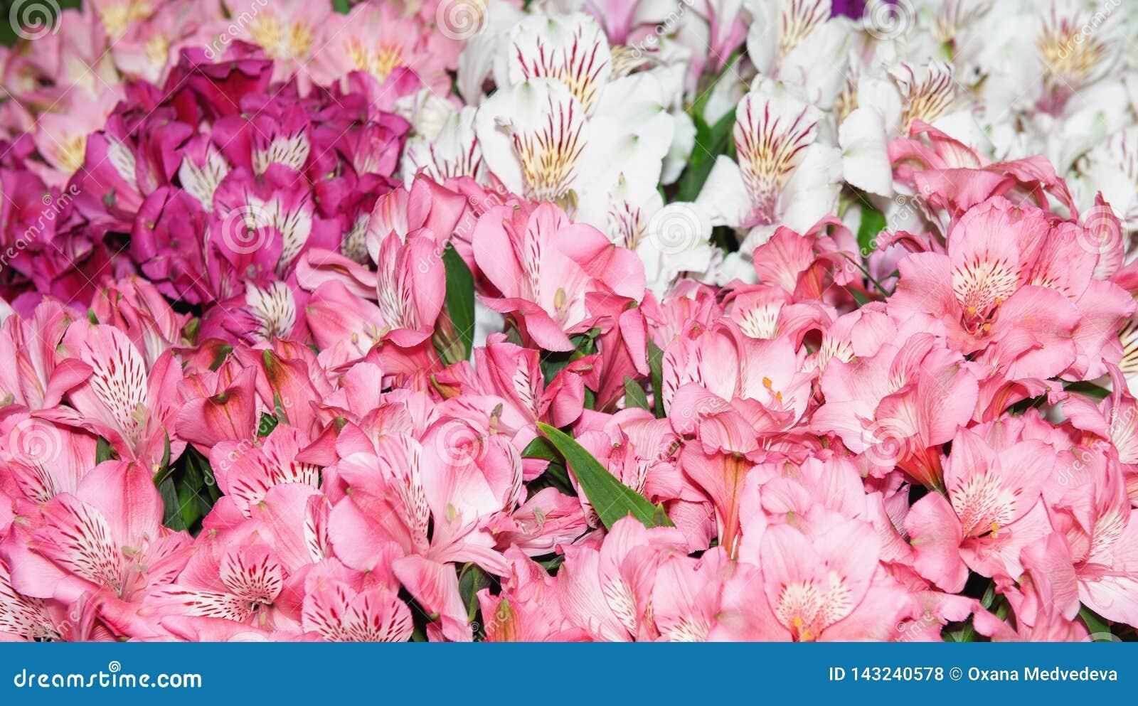 Il Alstroemeria è rosa-rosso e chiazzato multicolori Priorità bassa dei fiori