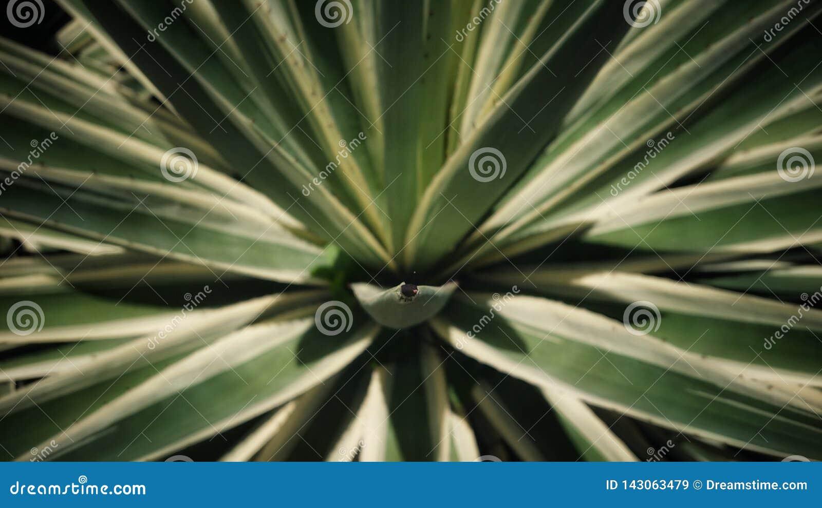 Il a appelé l agave Azul Tequilana Une usine locale en Seychelles