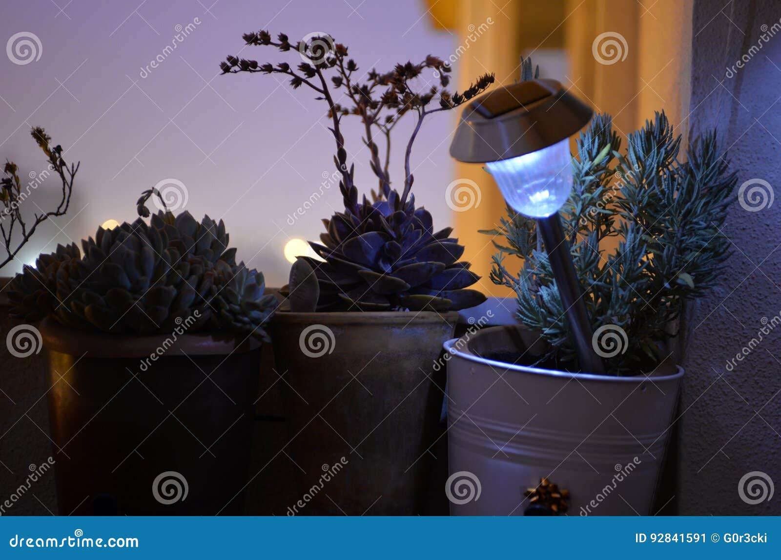 Il balcone domestico, il rosmarino, crassulacee del fiore, ha acceso la lampada solare, fiorisce le siluette