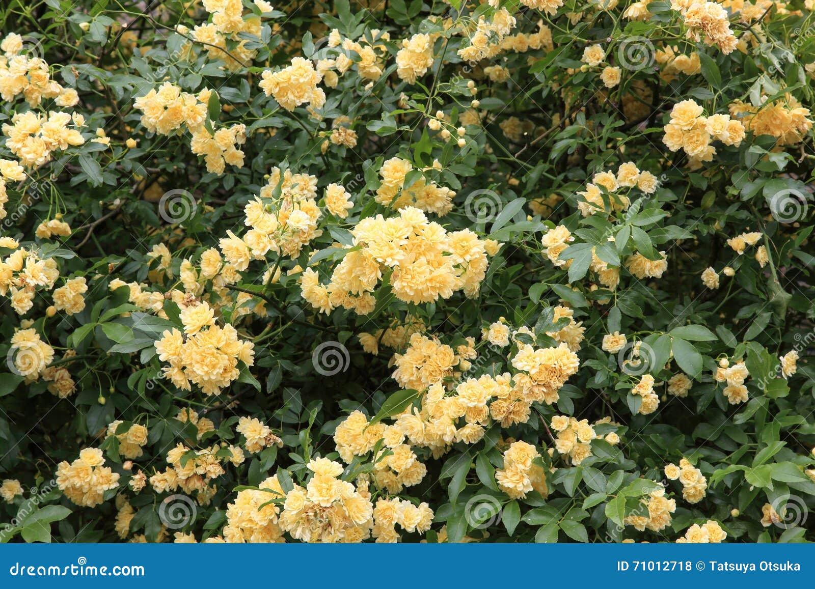 Il Banksia è aumentato