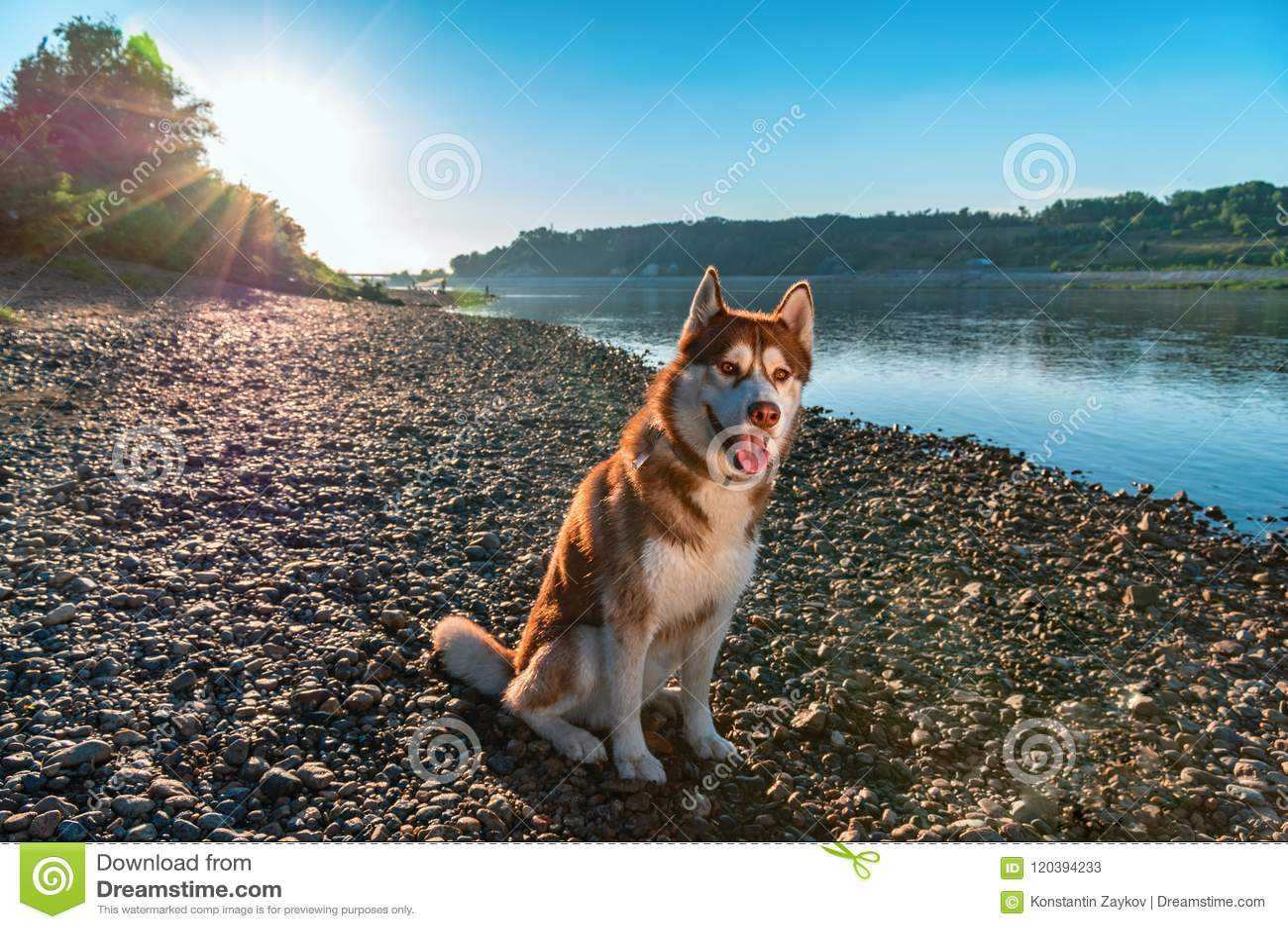 Il bello cane si siede sul fiume di sera della riva nel tramonto dei raggi Husky siberiano rosso sveglio sui precedenti di un fiu
