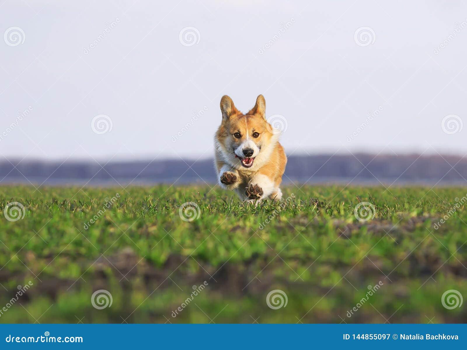 Il bello Corgi rosso del cucciolo del cane funziona velocemente su erba verde nel prato di primavera divertente attaccando fuori