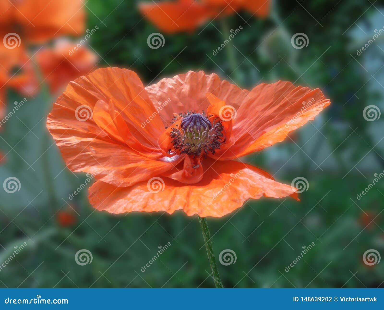 Il bello fiore arancio del papavero con una scatola di semi e gli stami si chiudono su