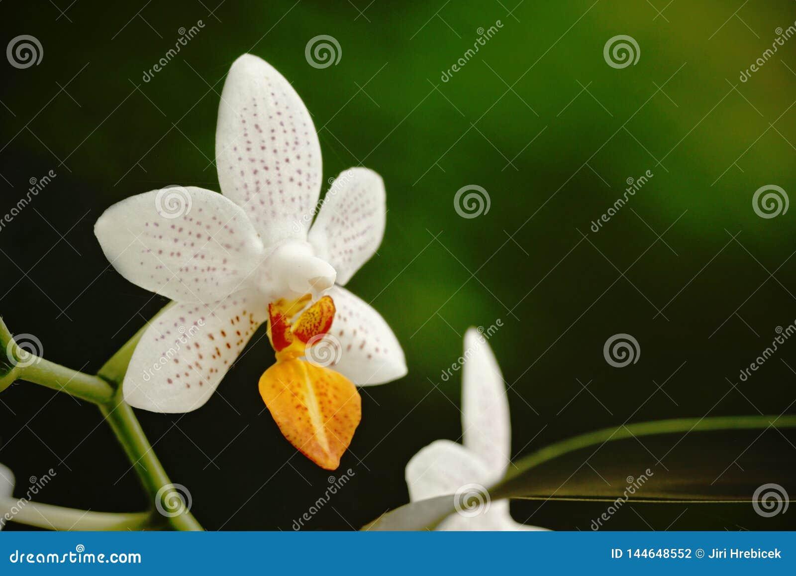 Il bello fiore dell orchidea si sviluppa in giardino tropicale con sfondo naturale, la macro naturale del primo piano della carta