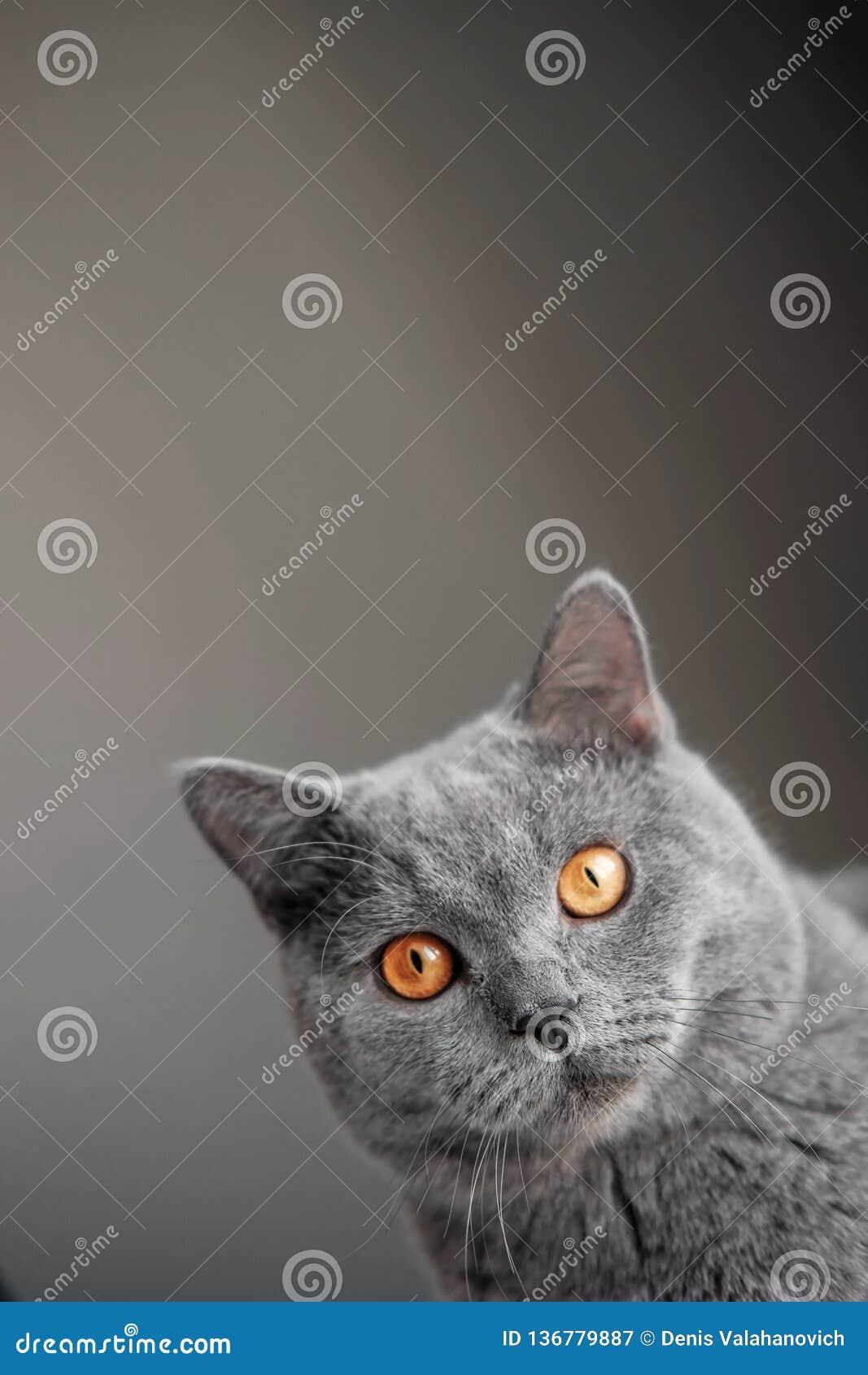 Il bello gatto britannico grigio con gli occhi gialli dà una occhiata a dietro l angolo