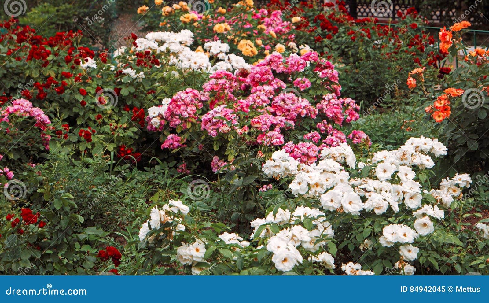 Il bello giardino di rose l aiola con differenti rosa fiori di