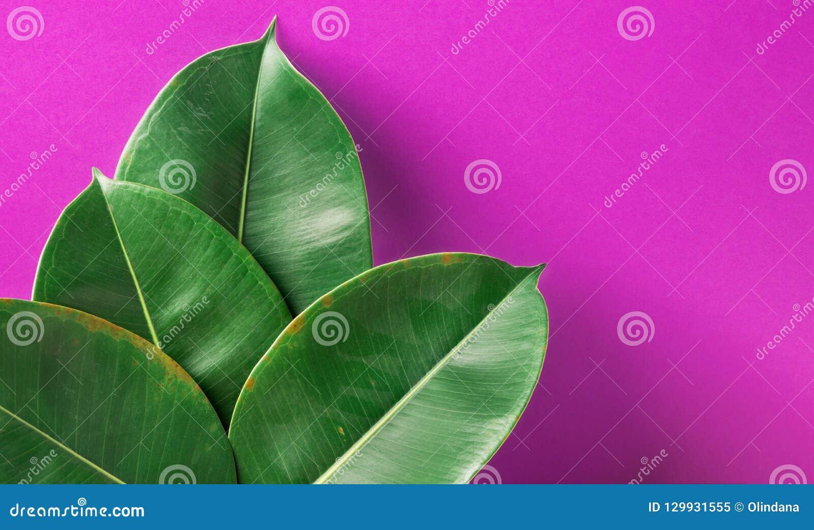 Il bello grande ficus elastica conservato in vaso verde fresco carnoso va sul fondo dipinto porpora della parete Decorazione inte