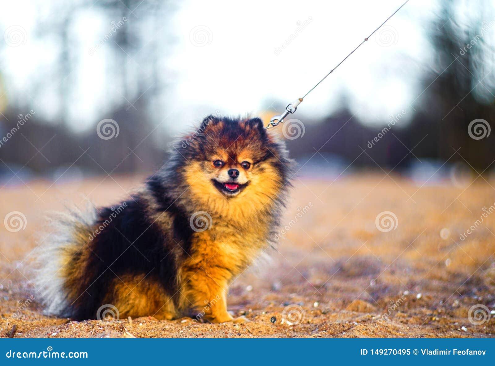 Il bello piccolo cucciolo dello Spitz si siede su un fondo della sabbia e della spiaggia cane sorridente divertente con una bocca