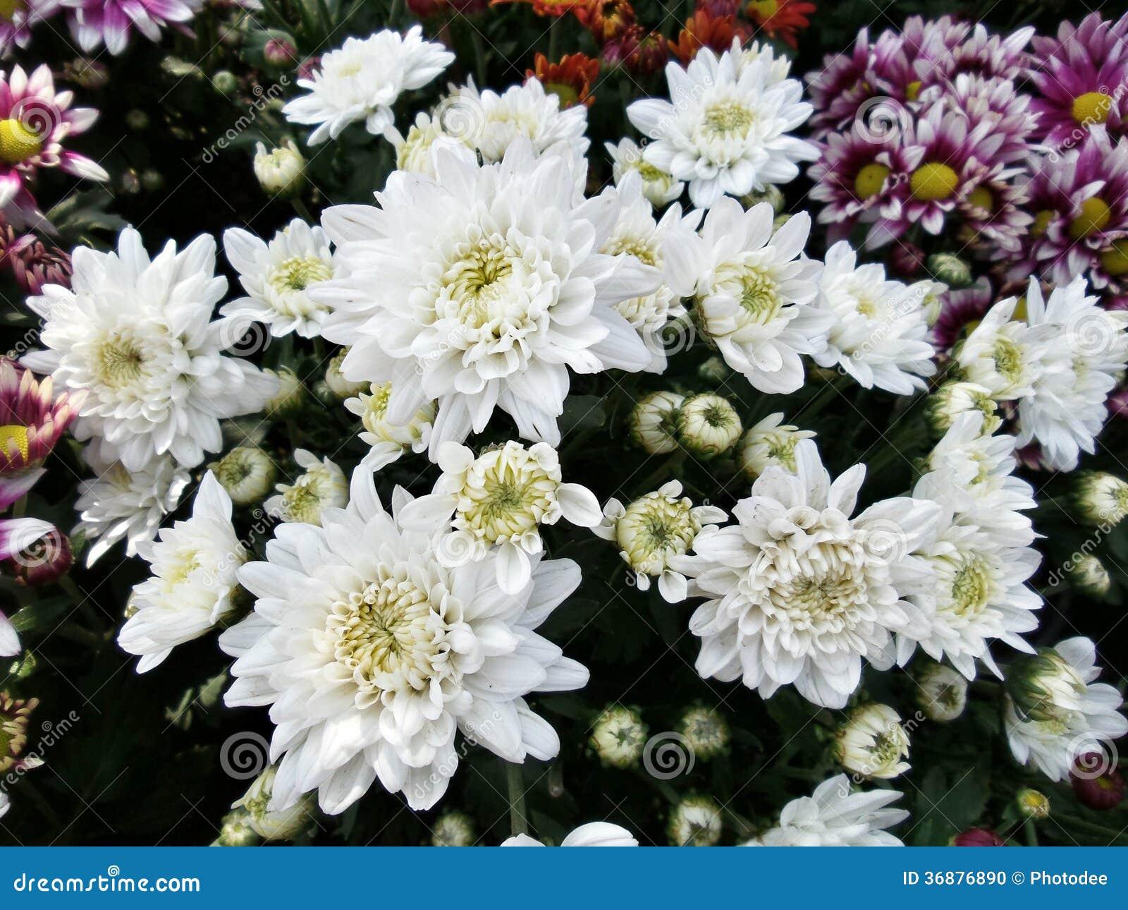 Download Il bianco chrysanthemumden fotografia stock. Immagine di crisantemo - 36876890