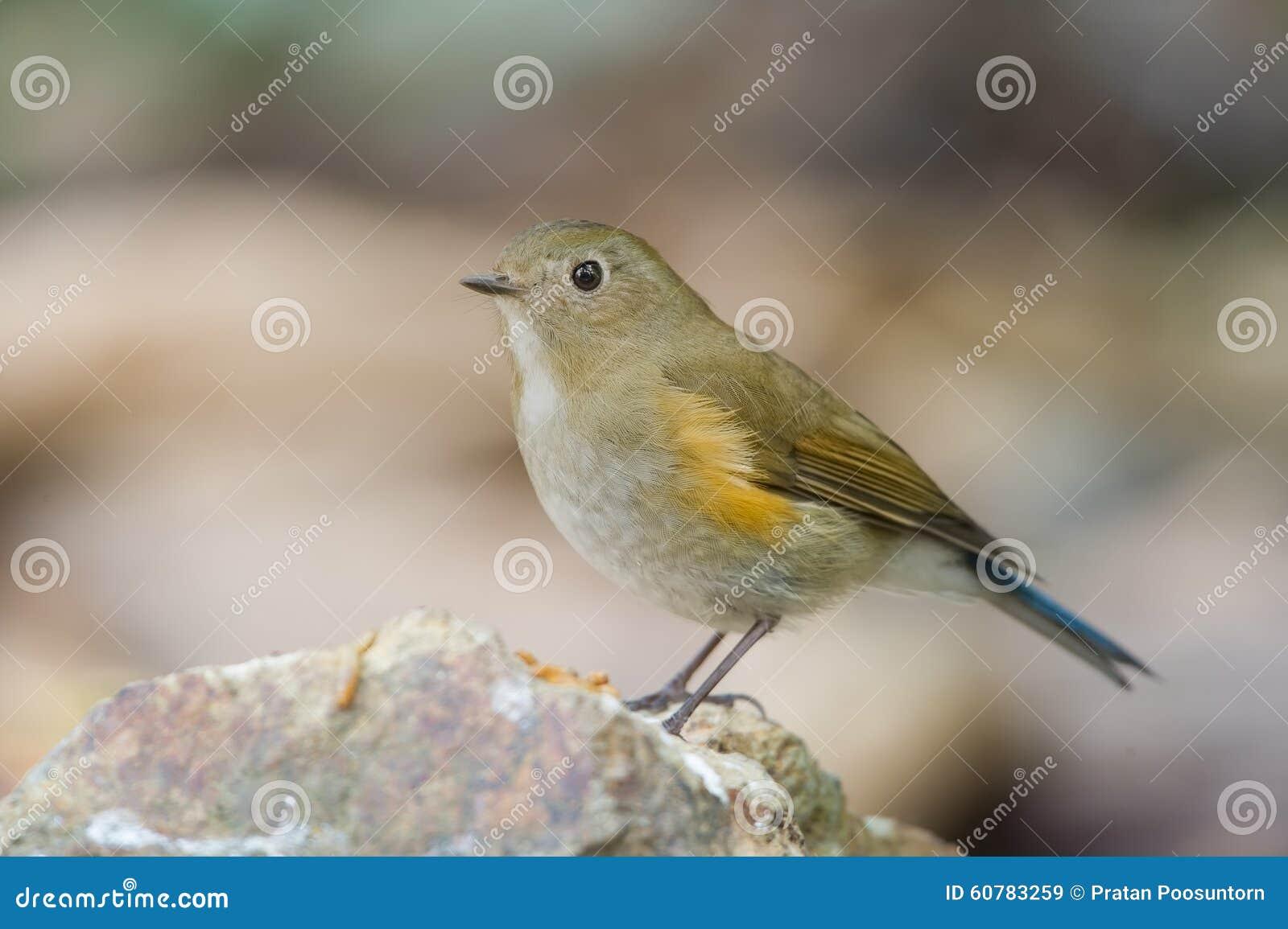 Il bluetail himalayano